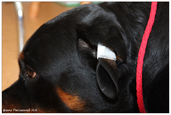 портал как исправить залом уха у собаки бесплатно бабахает Услышала
